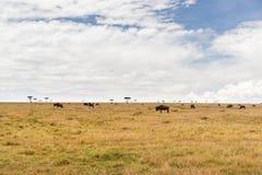 Wildebeests het weiden in savanne in Afrika Stock Fotografie