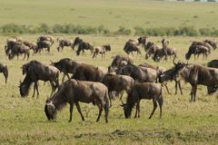 Wildebeests i savannahen Royaltyfria Foton