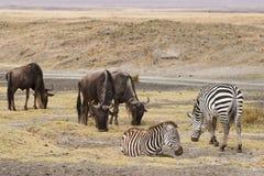 Wildebeests i zebra Fotografia Royalty Free