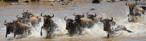 Wildebeests kruist Mara rivier Grote migratie kenia tanzania Masai Mara National Park stock fotografie