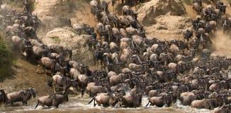 Wildebeests loopt aan de Mara rivier Grote migratie kenia tanzania Masai Mara National Park stock fotografie