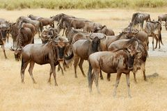 Wildebeests in the Masa Mara Stock Photo