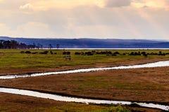 Wildebeests in Masai Mara stock foto's