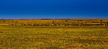 Wildebeests in Masai Mara Stock Photos