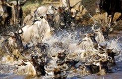 wildebeests meeslepend in Mara rivier terwijl migratie Stock Foto's