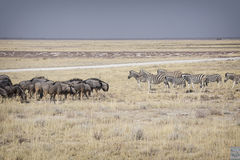 Wildebeests meets zebras Stock Photography