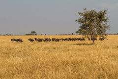 Landscape with migrating wildebeests Royalty Free Stock Image