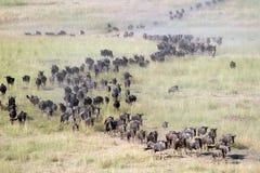 Wildebeests in migratie stock afbeelding