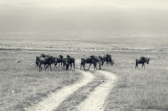 Wildebeests Stock Photo