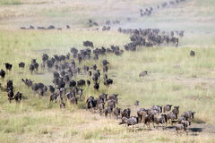 Wildebeests in migration Stock Image