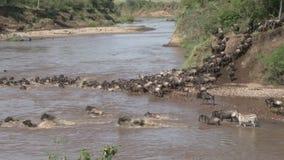 Wildebeests migration stock video footage