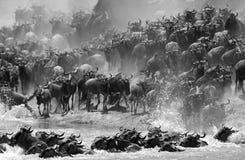 Wildebeests migruje przez Mara rzekę zdjęcia stock