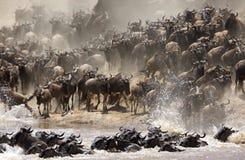 Wildebeests migruje przez Mara rzekę obrazy stock