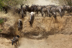 Wildebeests moving along the trench of the Mara River Stock Images