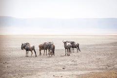 Wildebeests nazwany gnu antylop Connochaetes, także zdjęcie stock
