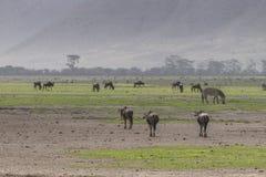 Wildebeests nd zebras stock images