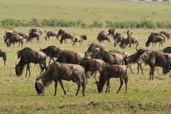 Wildebeests nella savanna Fotografie Stock Libere da Diritti