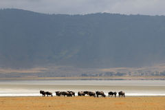 Wildebeests in Ngorongoro Crater Stock Photo