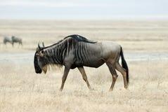 Wildebeests, in the Ngorongoro Crater, Tanzania Royalty Free Stock Image