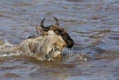 Wildebeests pływa przez Mara rzekę fotografia stock