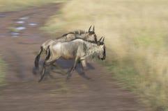 Wildebeests. A pair of running wildebeests Stock Photos
