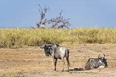 Wildebeests Royalty Free Stock Photography
