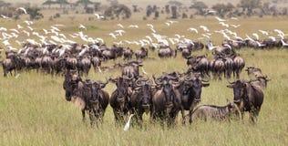 Wildebeests pasa w Serengeti parku narodowym w Tanzania, Afryka Wschodnia Obraz Royalty Free