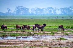 Wildebeests pasają w sawannie zdjęcia stock