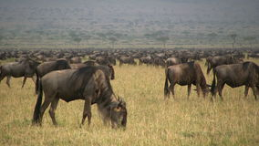 Wildebeests przesiedleńczy zbiory