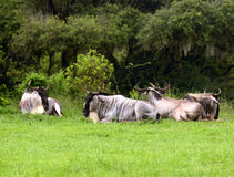 Wildebeests resting Royalty Free Stock Image