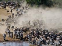 Wildebeests are runing to the Mara river. Great Migration. Kenya. Tanzania. Masai Mara National Park. Royalty Free Stock Photos