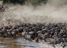 Wildebeests are runing to the Mara river. Great Migration. Kenya. Tanzania. Masai Mara National Park.  Royalty Free Stock Photography