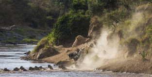 Wildebeests are runing to the Mara river. Great Migration. Kenya. Tanzania. Masai Mara National Park. Royalty Free Stock Images
