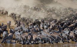Wildebeests are runing to the Mara river. Great Migration. Kenya. Tanzania. Masai Mara National Park. Stock Image