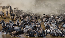 Wildebeests are runing to the Mara river. Great Migration. Kenya. Tanzania. Masai Mara National Park. Royalty Free Stock Photography