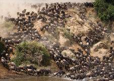 Wildebeests are runing to the Mara river. Great Migration. Kenya. Tanzania. Masai Mara National Park. An excellent illustration Stock Images