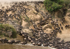 Wildebeests are runing to the Mara river. Great Migration. Kenya. Tanzania. Masai Mara National Park. An excellent illustration Royalty Free Stock Image