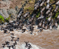 Wildebeests are runing to the Mara river. Great Migration. Kenya. Tanzania. Masai Mara National Park. An excellent illustration Royalty Free Stock Photo