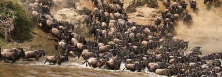 Wildebeests are runing to the Mara river. Great Migration. Kenya. Tanzania. Masai Mara National Park. An excellent illustration Royalty Free Stock Photography