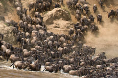 Wildebeests are runing to the Mara river. Great Migration. Kenya. Tanzania. Masai Mara National Park. An excellent illustration Stock Photos