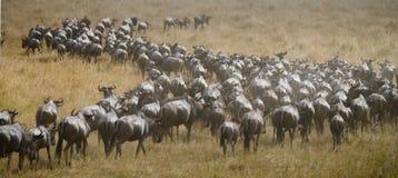 Wildebeests running through the savannah. Great Migration. Kenya. Tanzania. Masai Mara National Park. Stock Images