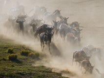 Wildebeests running through the savannah. Great Migration. Kenya. Tanzania. Masai Mara National Park. royalty free stock image