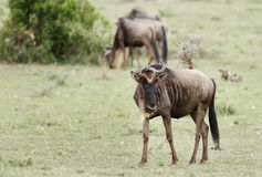 The Wildebeests in Savannah, Kenya Royalty Free Stock Images
