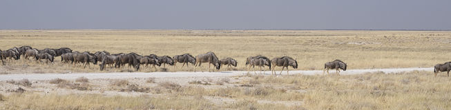 Wildebeests Stock Images