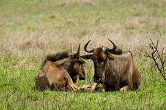 Wildebeests in south africa Royalty Free Stock Image