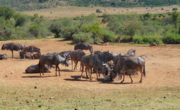 Wildebeests in South Africa Stock Photo