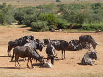 Wildebeests in South Africa Stock Image
