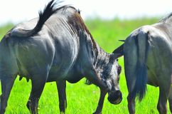 Wildebeests in South Africa. Wildebeest in a game reserve in South Africa Stock Photos