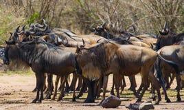 Wildebeests standing a small group in the savannah. Great Migration. Kenya. Tanzania. Masai Mara National Park. Stock Images