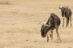 Wildebeests standing Stock Photo